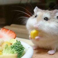 進食的巨鼠 Giant Mouse 吃喝玩樂小天地