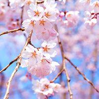 追櫻SakuraYes/鳳梨的香氣