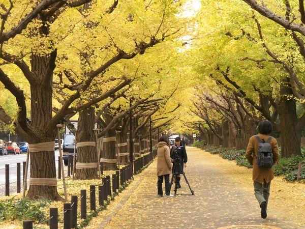 東京【明治神宮外苑】黃澄澄的銀杏大道