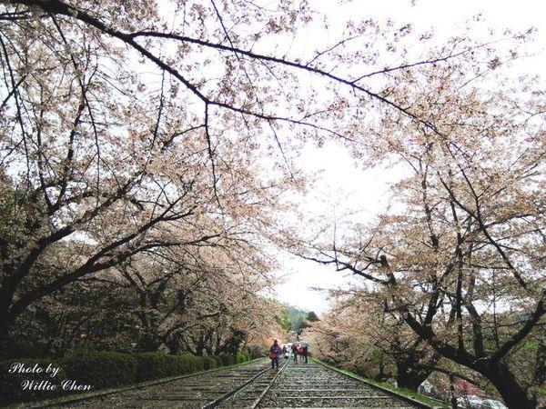 [京都] [遊記] 京都無料賞櫻景點 蹴上傾斜鐵道 櫻花與鐵道讓你一次滿足