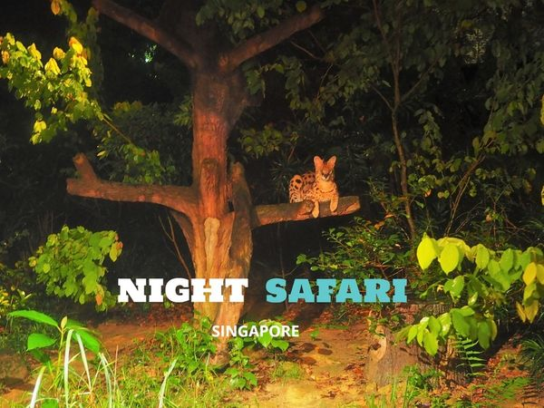 【新加坡 | 景點】暗夜中的刺激探索體驗♦夜間動物園Night Safari